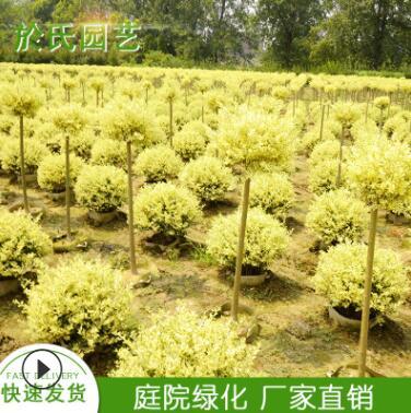 庭院栽植四季常青金姬小蜡棒棒糖庭院美化小叶女贞绿化苗木造型树