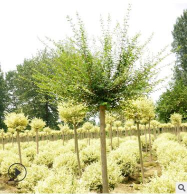苗木 批发 市政绿化灌木川滇蜡树棒棒糖小叶女贞庭院栽植四季常青