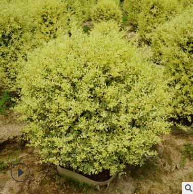 市政工程绿化苗木灌木金姬小蜡球庭院栽植小叶女贞造型树四季常青