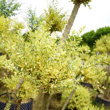 庭院绿化灌木冬青树金姬小蜡树桩四季常青小叶女贞绿化苗木造型树