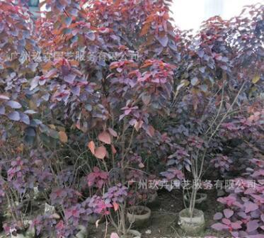 紫锦木1.6-1.7米 观叶植物 观叶景观树 基地直销