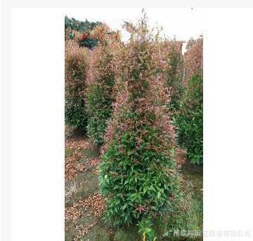 红车 观叶植物 绿化植物净化空气 基地直销
