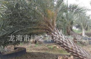 批发供应 造型弯型银海枣 造景银海枣 福建漳州银海枣中东海枣