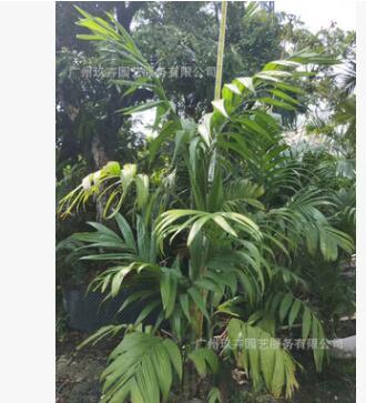 三药槟榔 观叶植物 观叶景观树