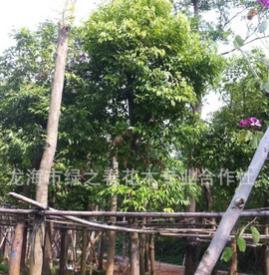 基地提供 丛生天竺桂 阴香天竺桂 天竺桂树苗 天竺桂厂家基地