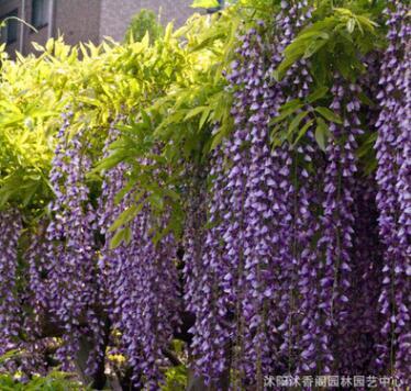紫藤树苗庭院别墅美化 批发多花紫藤苗 紫花紫藤 攀援花卉品种全