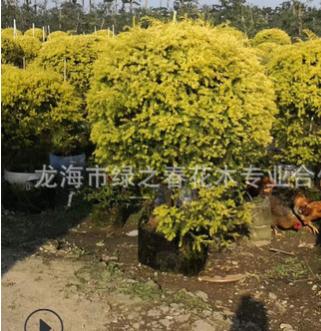长期供应 造型千层金黄金香柳桩景 四川重庆贵州千层金树苗