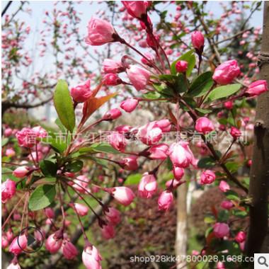 垂丝海棠树苗批发海棠盆栽户外庭院绿化15公分西府海棠树木