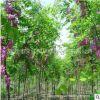 香花槐树苗绿化花木庭院观赏行道点缀气味芳香独杆造型香花槐
