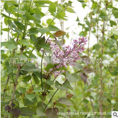 紫丁香树苗绿化花木庭院观赏室内盆栽行道点缀量大从优紫丁香直销