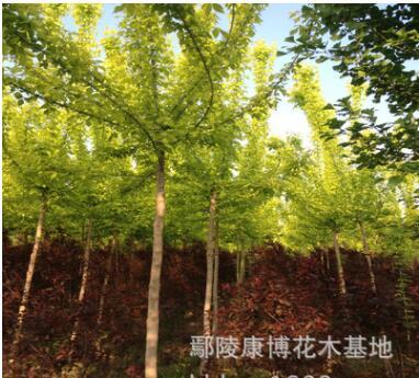 河南苗木复叶槭基地,批发工程绿化苗木