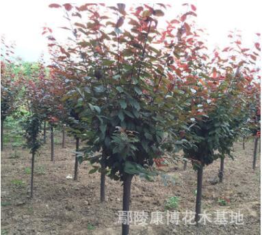河南大型红叶李基地,现处理一批1-15公分精品红叶李