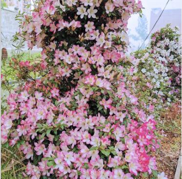 桃香 原生日本杜鹃苗 四季常绿叶小花小 阳台庭院植物