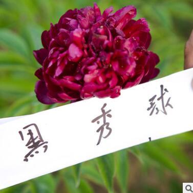 菏泽花卉基地供应芍药 芍药苗 菏泽芍药 黑绣球芍药2年3分枝