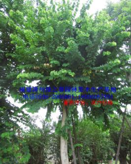 福建移植红花紫荆羊蹄甲胸径15-30公分 香港市花漳州洋紫荆直销