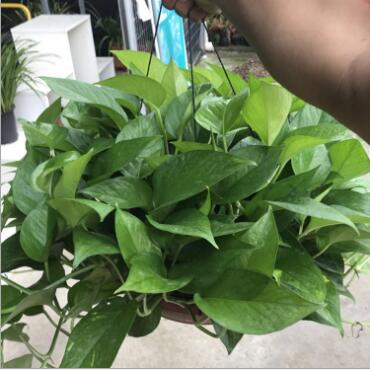 基地直销360绿萝青叶绿萝室内净化空气花卉盆栽优质绿萝