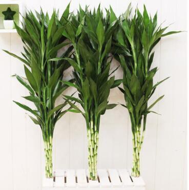 水培富贵竹办公室盆栽绿植盆景水生植物水养转运竹观音竹净化空气