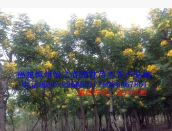 低价批发福建精品黄花槐袋苗胸径10-12公分 漳州黄槐 农户价格