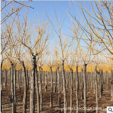 黄金槐树苗批发绿化工程苗木庭院观赏黄金槐 国槐树苗