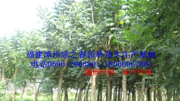 福建全冠特选精品火焰木 胸径20-40公分漳州火焰树袋苗假植苗