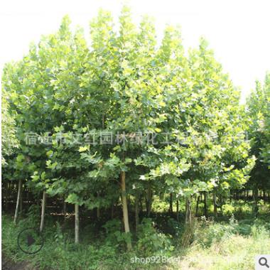 法桐树苗批发园林绿化苗木法国梧桐树色块绿篱行道点缀泡桐树