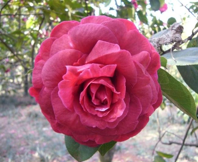 经典品种 紫袍茶花