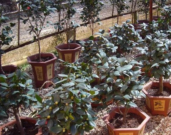 礼品茶花盆栽