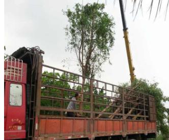 贵州云南广西胸径15-20公分小叶榕2万棵袋苗木移植苗 半冠全冠