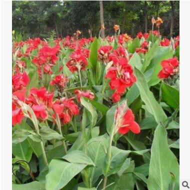 批发供应 红花美人蕉 黄花美人蕉 花叶美人蕉 水生植物批发
