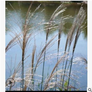 长期供应 荻 萧山 水生植物 绿化 工程 市政园林 各种规格