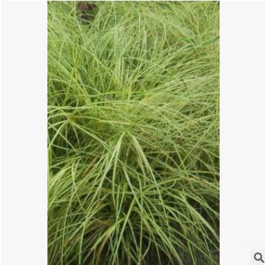 金叶苔草 萧山 基地直销 各种 水生植物 绿化工程 大量批发