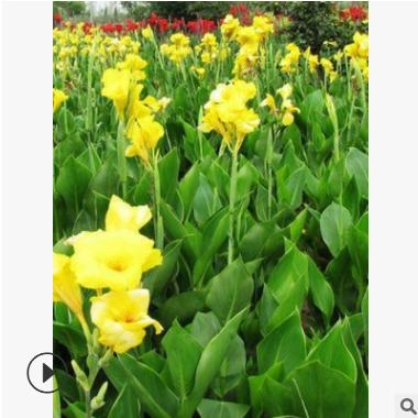 农家提供 美人蕉 各种 水生植物 萧山绿化工程 大量批发