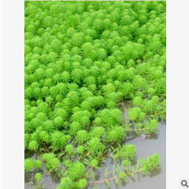 聚草 萧山 基地直销 各种 水生植物 绿化工程 大量批发