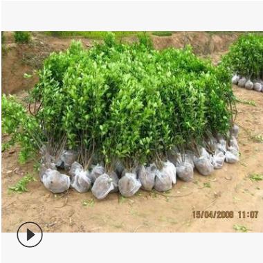 苗圃提供 黄杨苗 萧山基地直销 瓜子黄杨小苗 各种规格