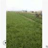 苗圃提供细叶麦冬 金边阔叶麦冬 日本矮麦冬 基地直销 萧山地被