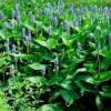 梭鱼草 大量 批发 杭州萧山 水生植 物 绿化 基地 筕菜