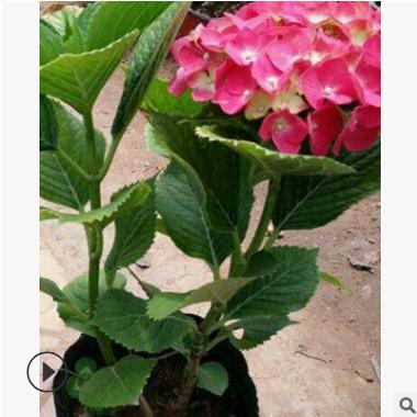 绣球八仙花 萧山农户直销 八仙花 月季花 品种齐全 大量批发 价优