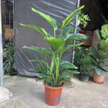 批发室内大型绿植花卉 天堂鸟 盆栽植物 鹤望兰 吸甲醛 净化空气