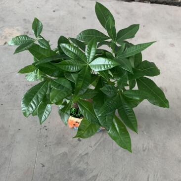 基地直销 发财树瓷盆 四季常青盆栽观赏绿植室内装饰盆栽