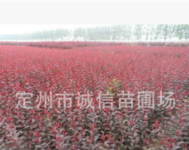 花灌木 丛生紫叶矮樱丛生红叶李