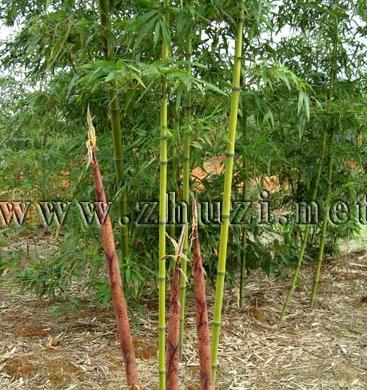 刚竹、红竹、高节竹、乌哺鸡竹、早园竹