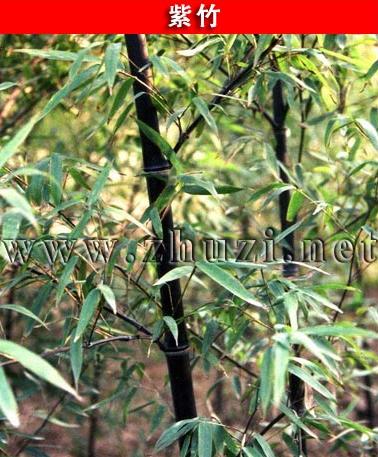紫竹、花杆早园竹、方竹、锦竹(白纹阴阳竹)
