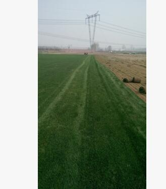 北京 天津 工程绿化高尔夫草坪 草皮 早熟禾草皮 工程用草坪