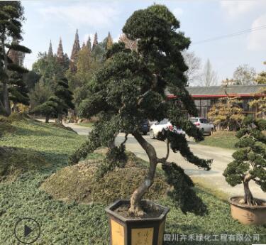 精品私家庭院花园屋顶观赏植物金弹子,罗汉松盆景桩头