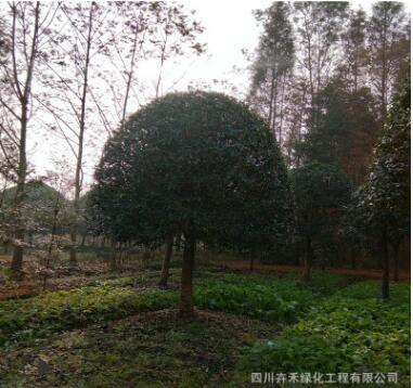 苗圃行道树湿地绿化庭院花园风景树庭荫树防护树优质八月桂花苗