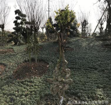 供应优质庭院广场花园绿化赠送朋友长辈佳品盆景紫薇工艺品艺术字