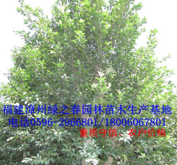 四川重庆全冠漳州假植小叶榕2万棵胸径12-15公分 福建细叶榕袋苗