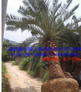 漳州特选加拿利海枣基地假植苗杆高200-500cm 福建精品刺葵海枣