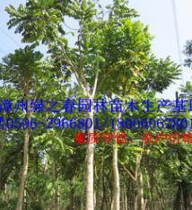 批发漳州火焰木袋苗 福建基地胸径10-15公分火焰树 精品A货