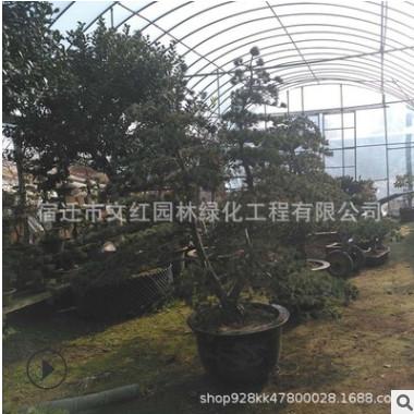 五针松基地批发风景树桩造型五针松园林植物罗汉松 五针松造型树